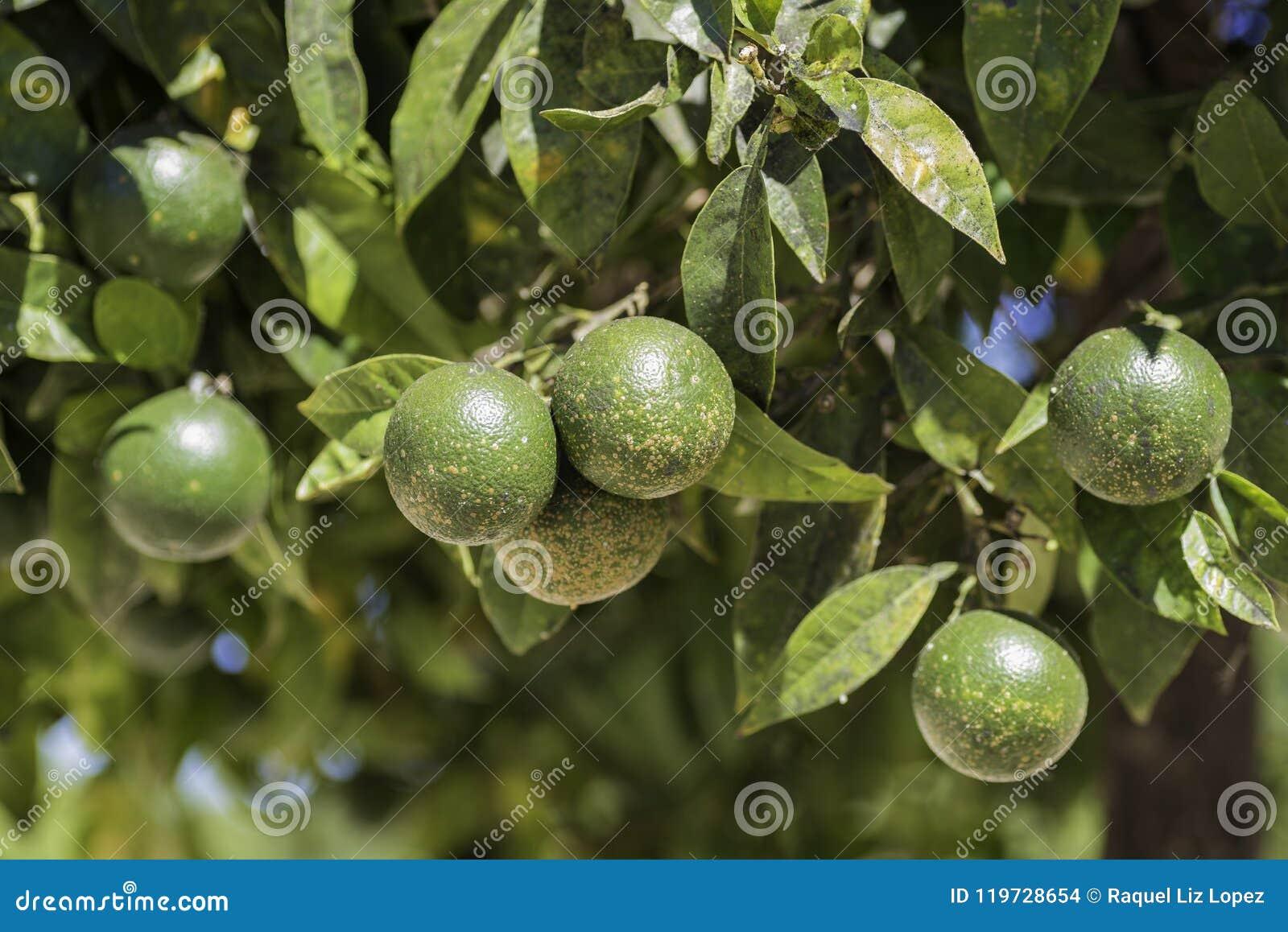 Szczegół zielone pomarańcze
