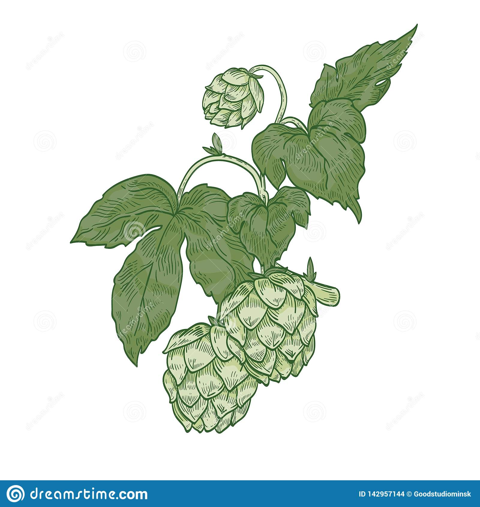 Szczegółowy naturalny realistyczny rysunek chmielu sprig Zieleni kwiatów pączki i liście roślina kultywujący dla piwnego piwowars