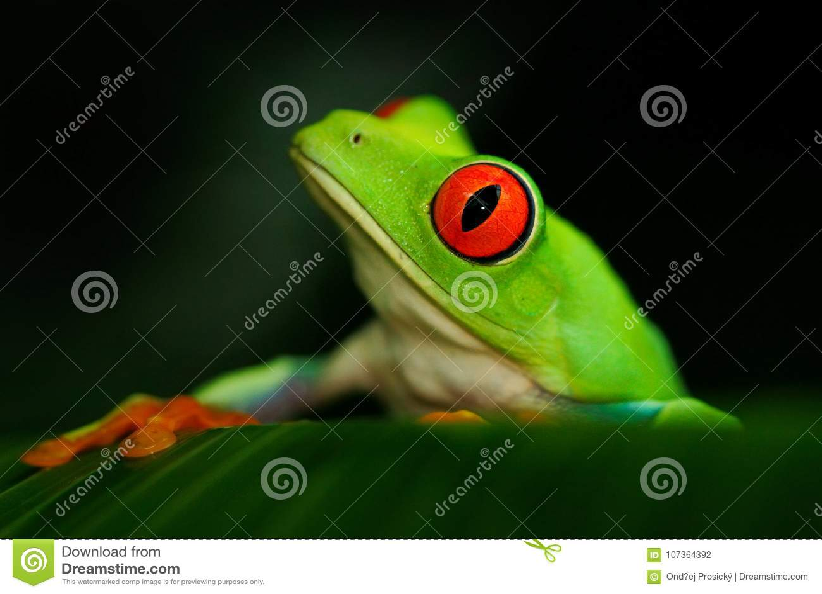 Szczegółu portret żaba z czerwonymi oczami Przyglądająca się Drzewna żaba, Agalychnis callidryas w natury siedlisku, Panama Piękn