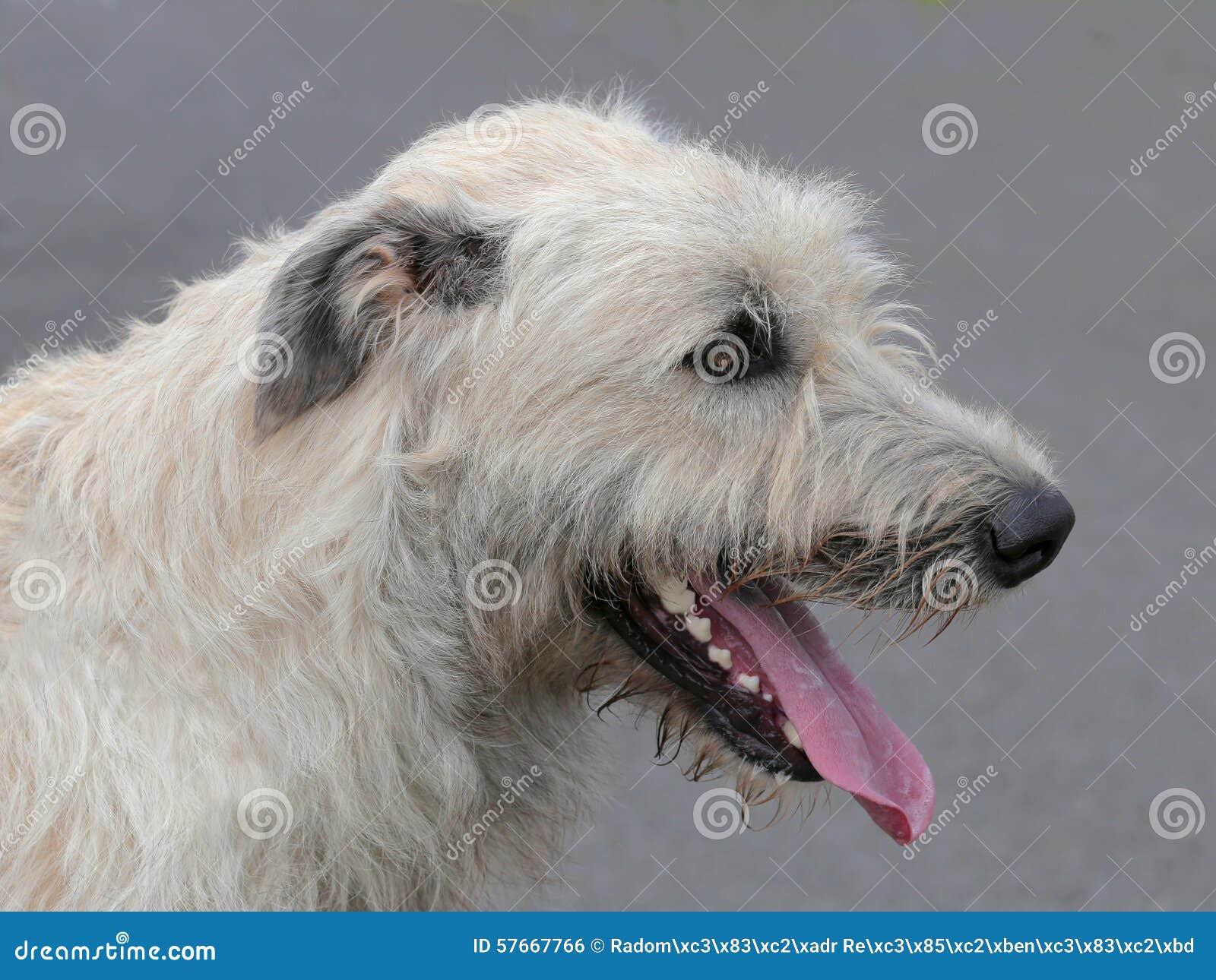 Szczegół Irlandzki Wolfhound