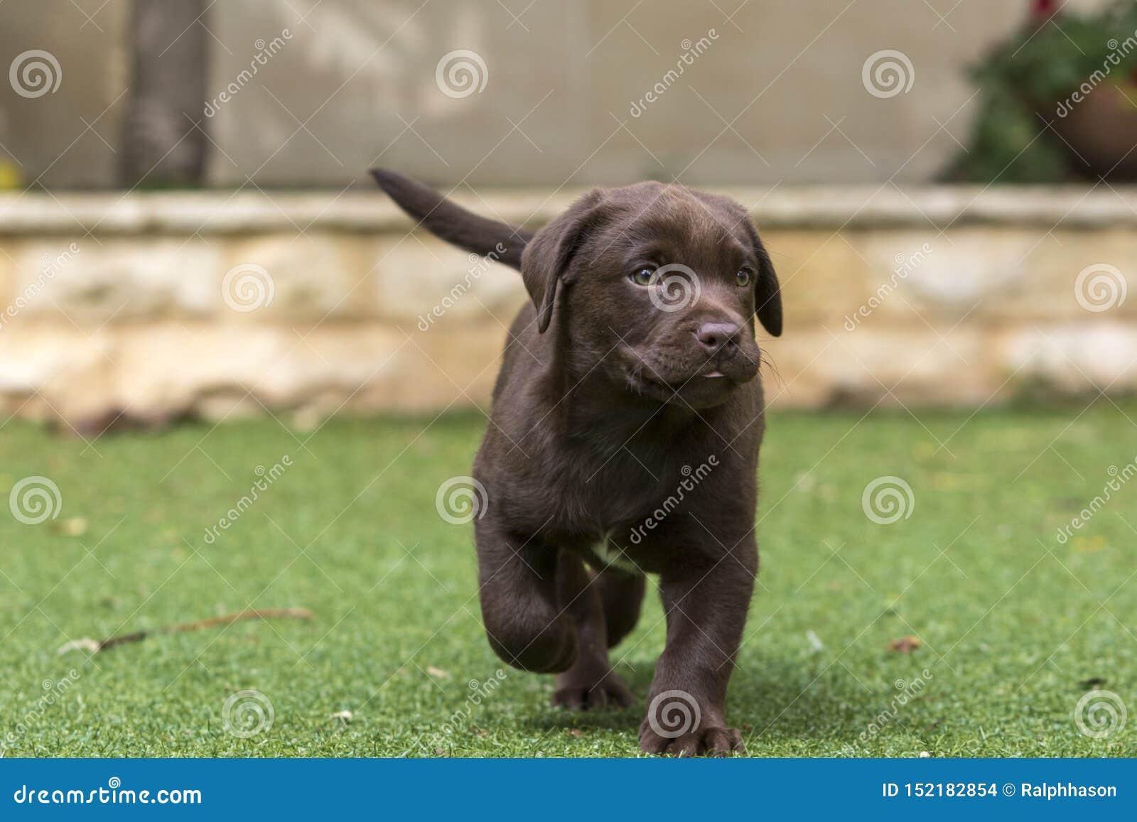 Szczeniak czekolada - brąz Labrador retriever