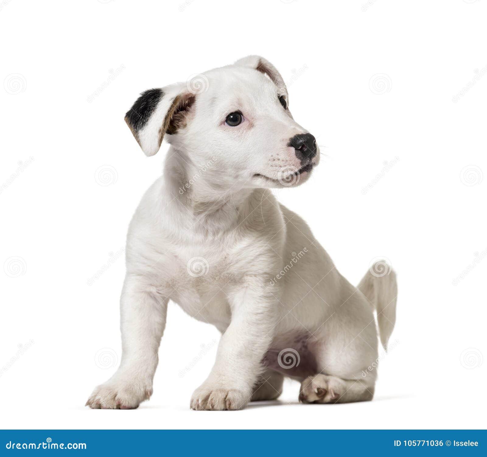Szczeniak dźwigarka Russell Terrier, pies odizolowywający na whi, (8 miesięcy starych)