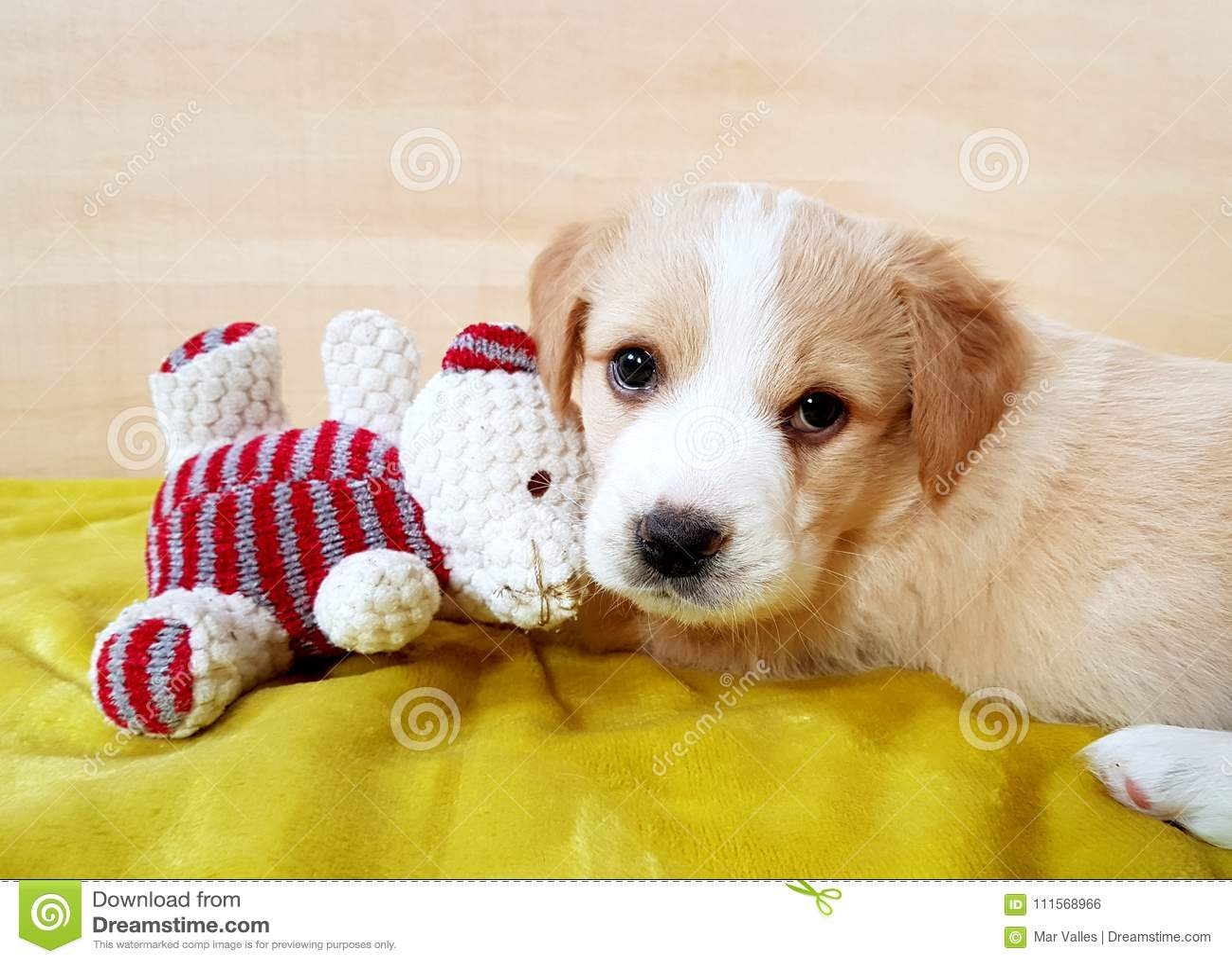 Szczeniaka brązu pies z misiem