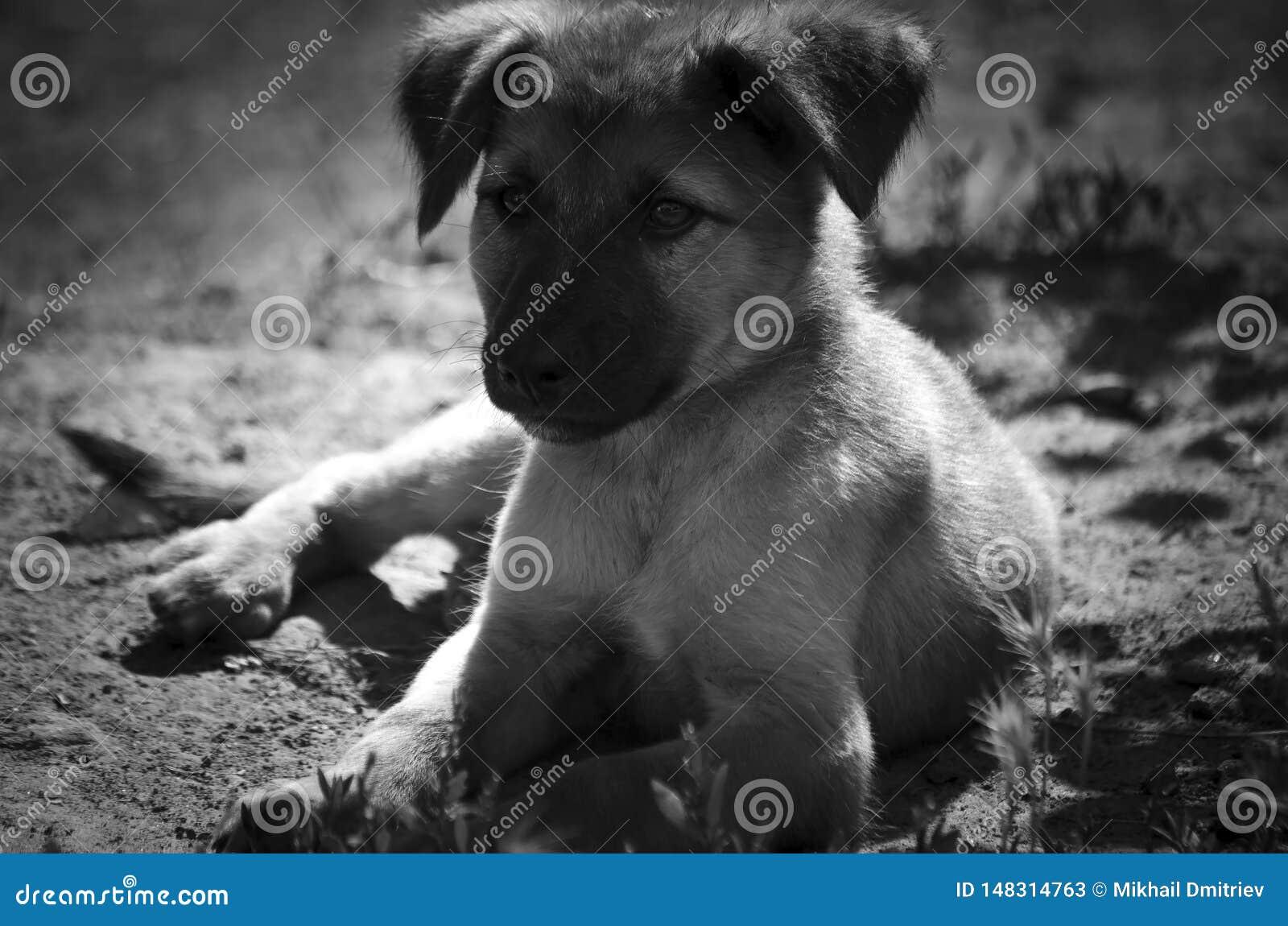 Szczeniaka psa †‹â€ ‹kłama na ziemi czarny i biały