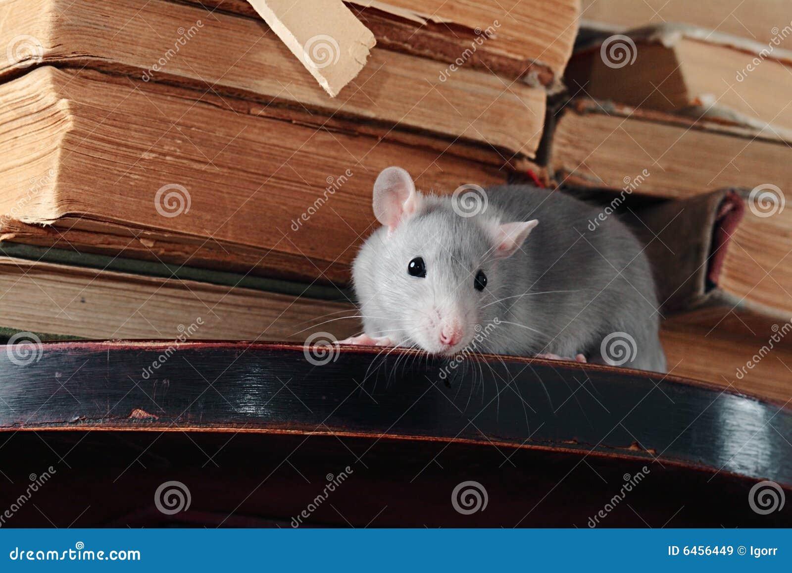 Szczur biblioteczna.
