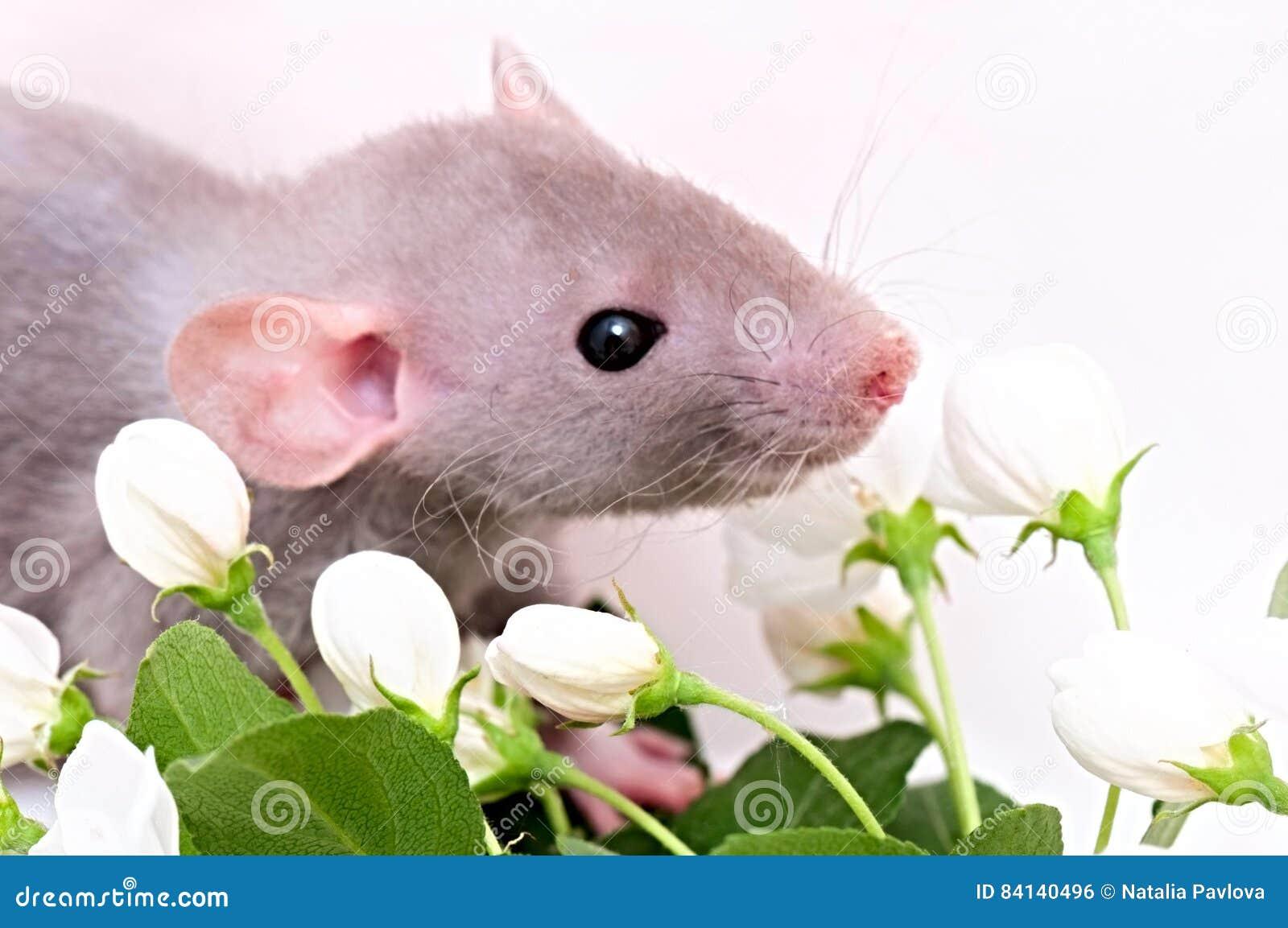 Szczur z kwiatami