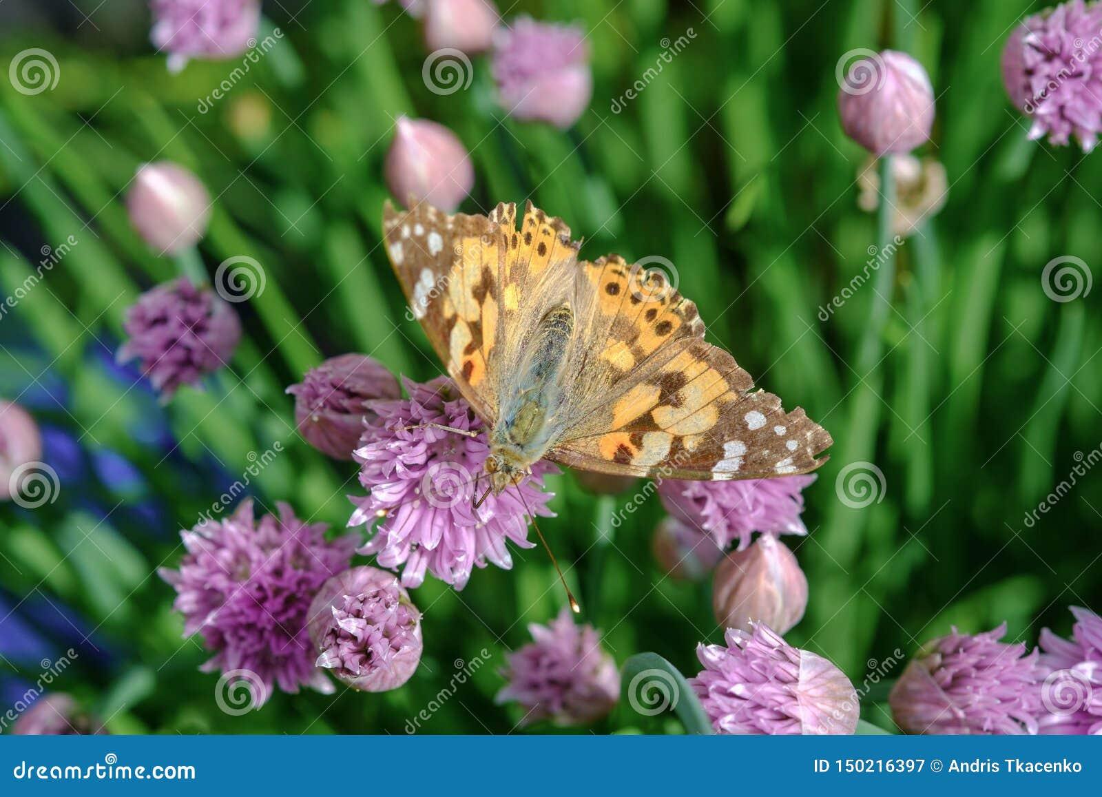 Szczypiorki i pomarańczowy motyl w ogródzie