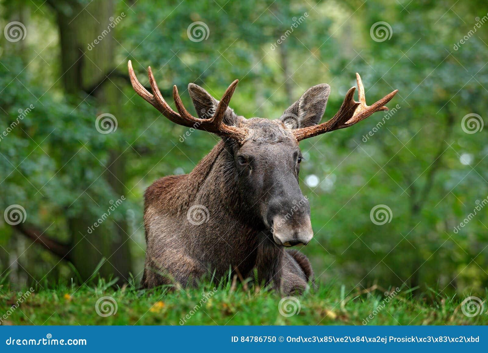 Szene der wild lebenden Tiere von Schweden Elche, die im Gras unter Bäumen liegen Elche, Nordamerika oder eurasische Elche, Euras