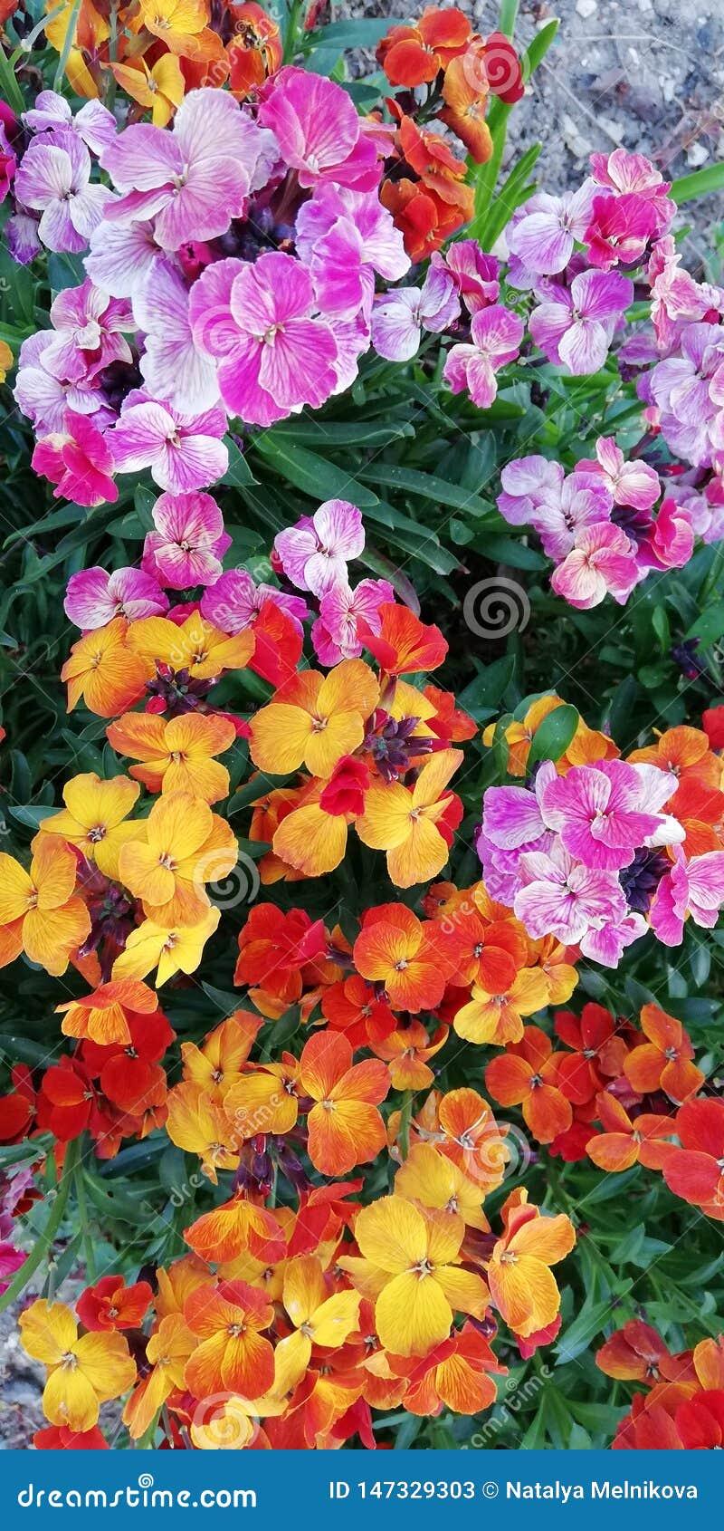 Szenischer froher Blumensommerhintergrund Gelb, rot, Orange, purpurrote Sommerblumen auf einem Hintergrund des grünen Grases