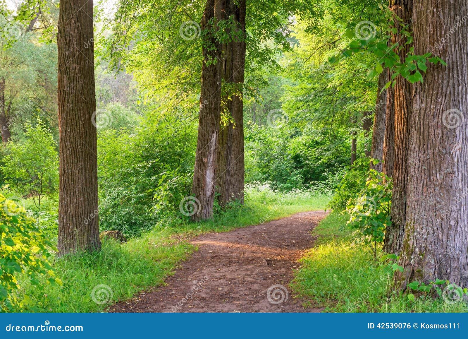 Szeroki ślad wysocy drzewa