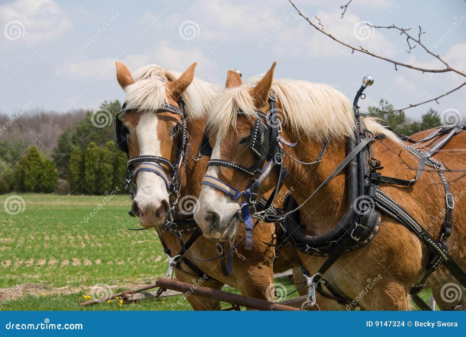 Szkiców konie dwa