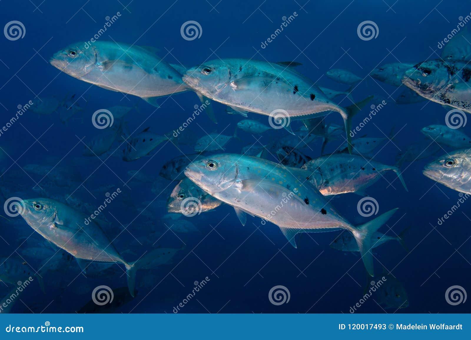 Szkoła Kropkująca trevally ryba