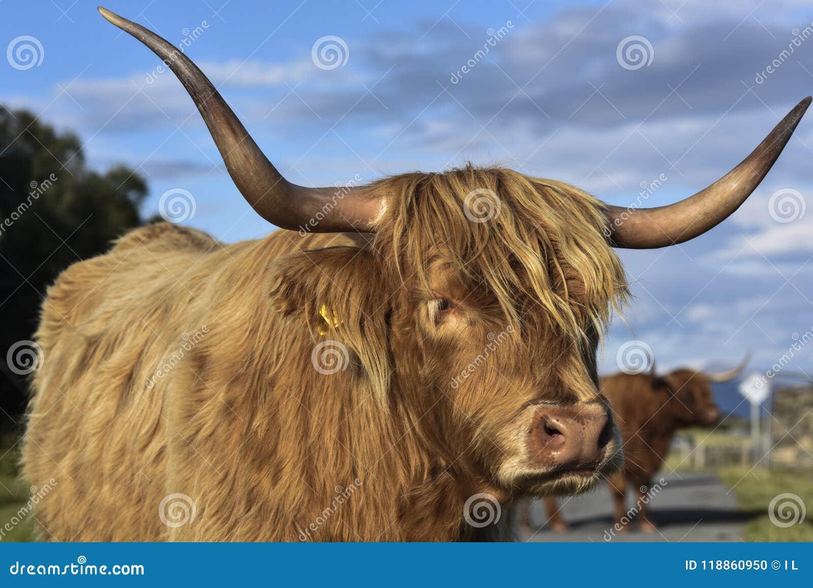Szkocki górski bydło w ciepłym wieczór świetle, portret śliczna krowa, średniogórza, Szkocja, Zjednoczone Królestwo