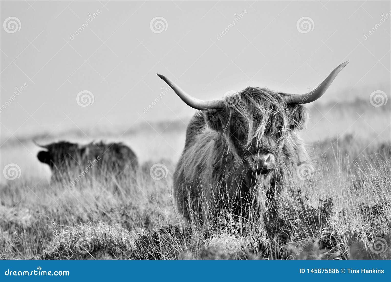 Szkocki Górski krowy utrzymanie na moorland kontaminacji w swój otaczania