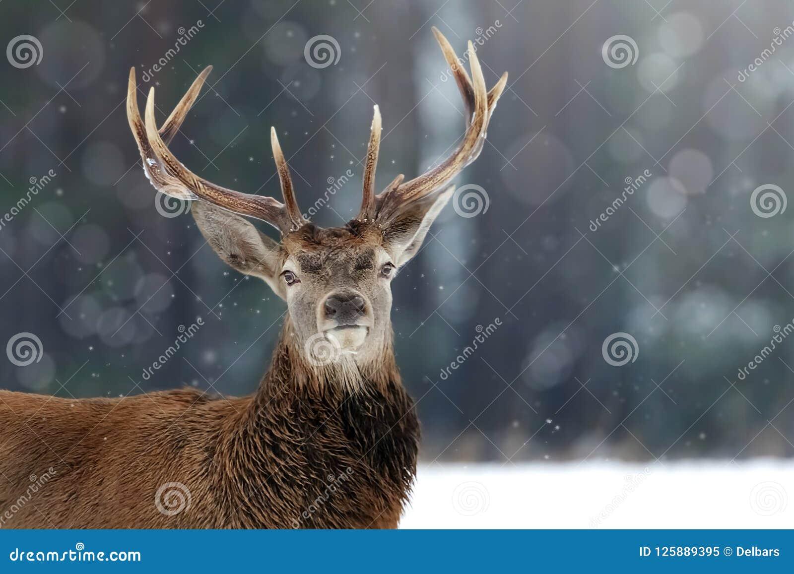 Szlachetna jelenia samiec w zimy zimy bożych narodzeń śnieżnym lasowym wizerunku