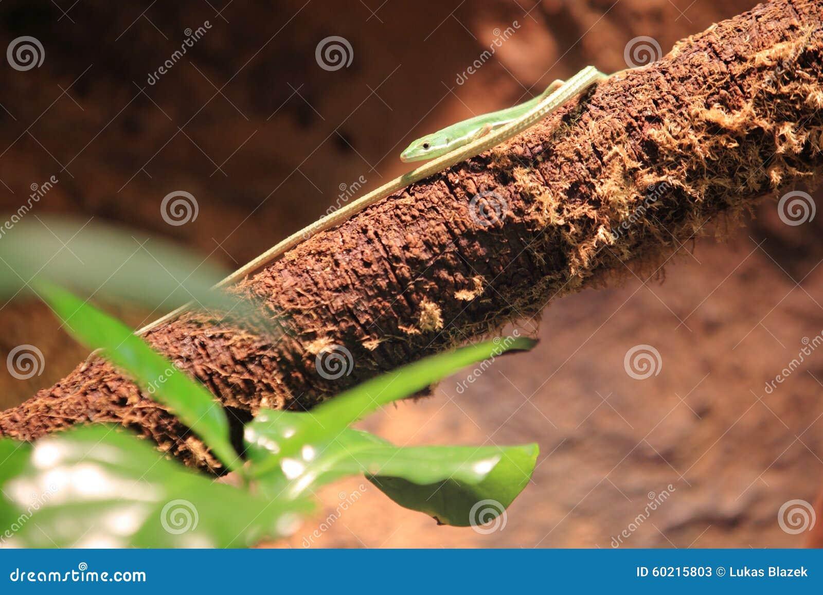 Szmaragdowa długoogonkowa jaszczurka