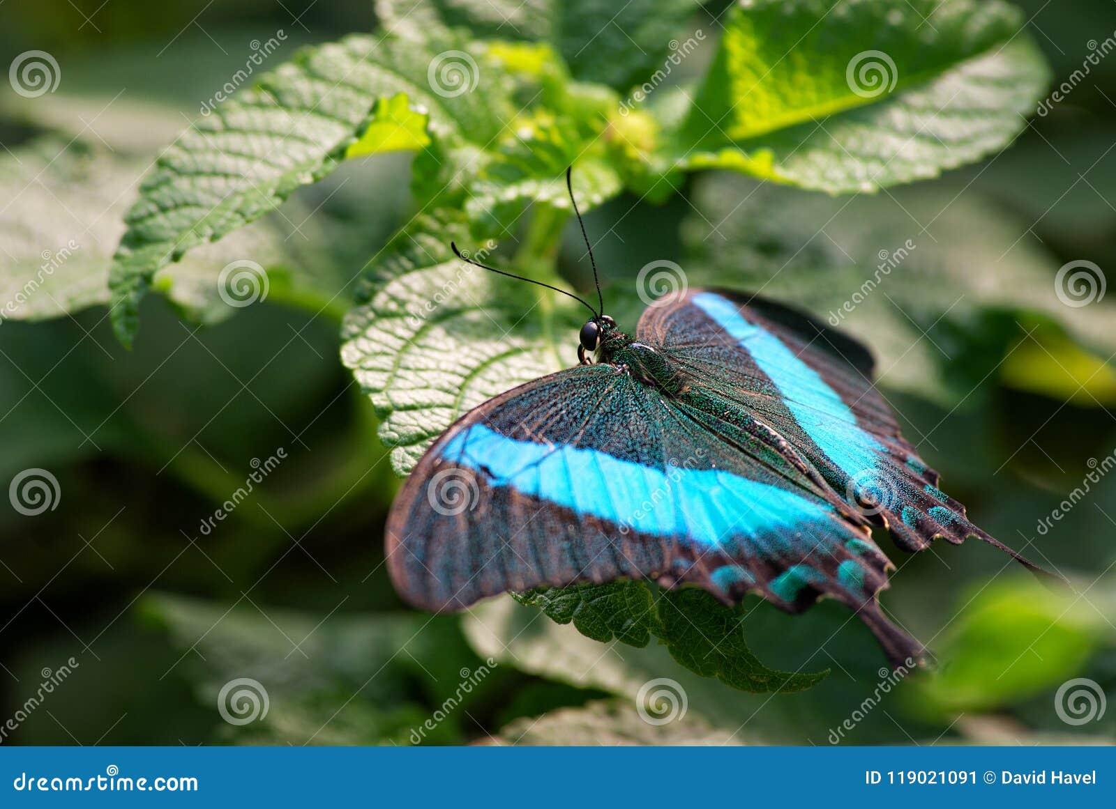 Szmaragdowy Swallowtail, Papilio palinurus -