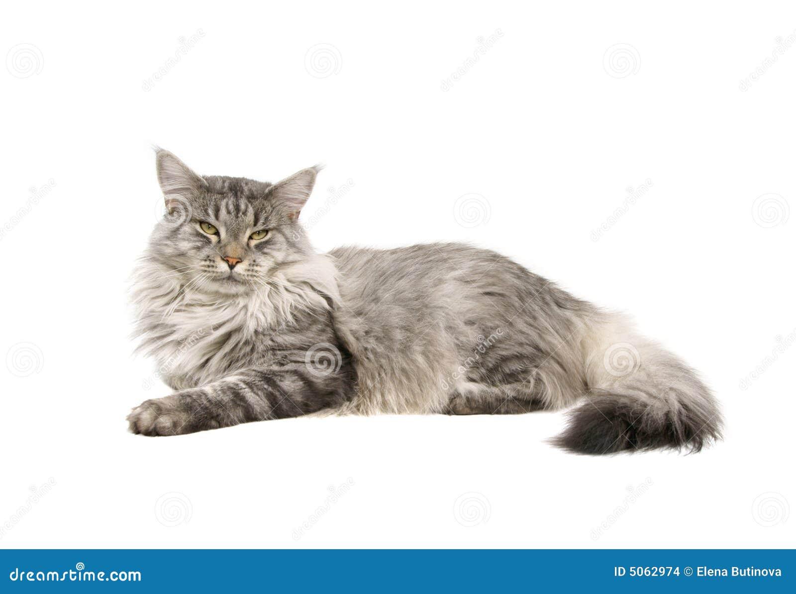Szop Maine odosobnione kota
