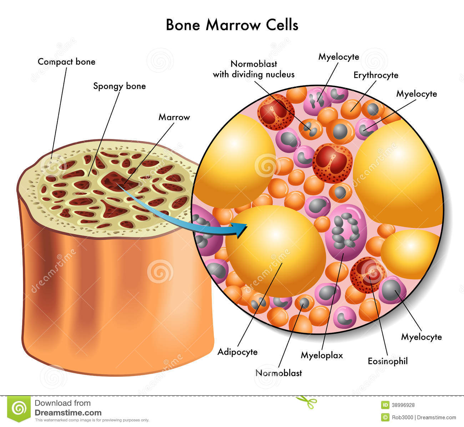 Szpik kostny komórki