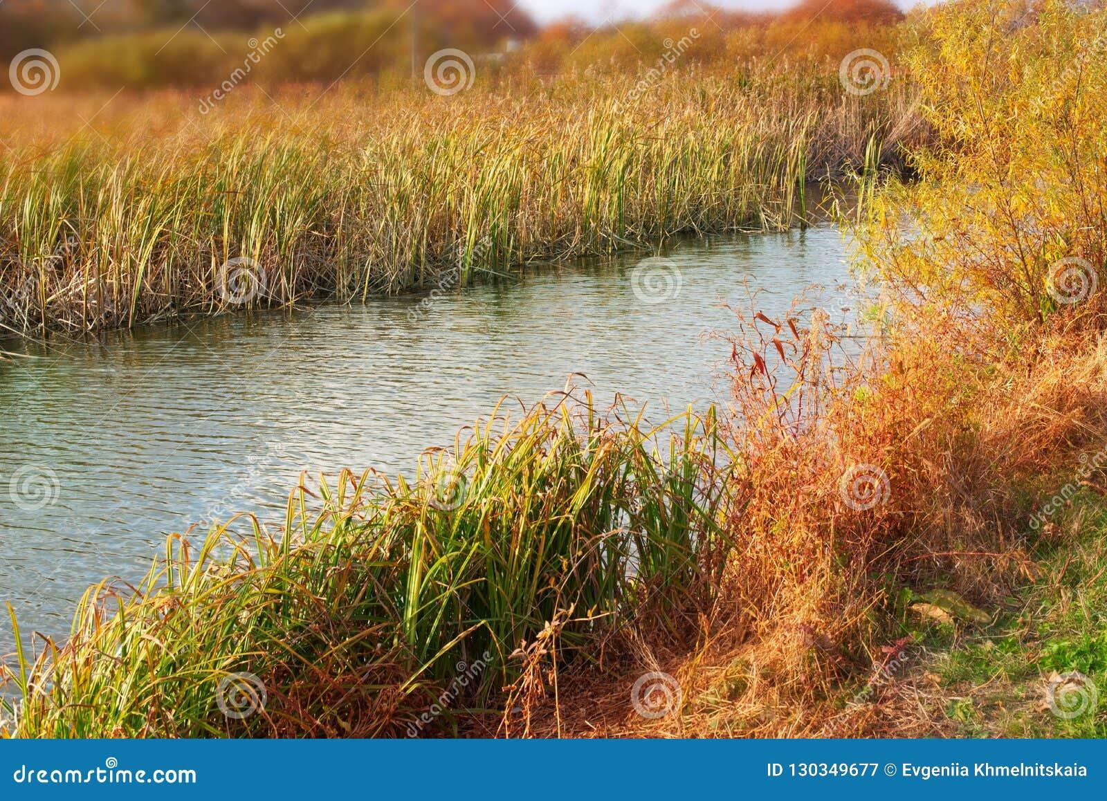 Sztandar jesieni krajobrazu brzeg rzekiego suchej trawy naturalne płochy nawadniają natury Selekcyjnej ostrości zamazującego tło