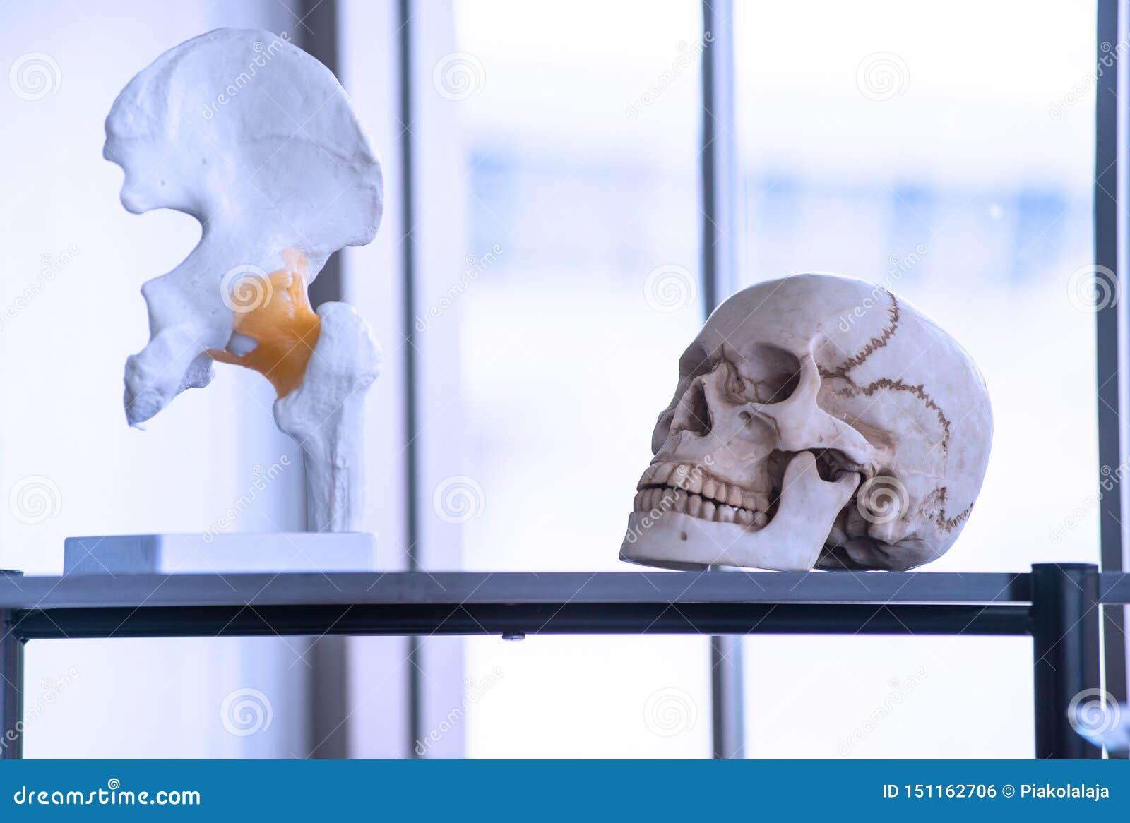 Sztuczny kościec tak jak czaszka, kość i zęby w, szkołach wyższych i uniwersytetach laboranckich
