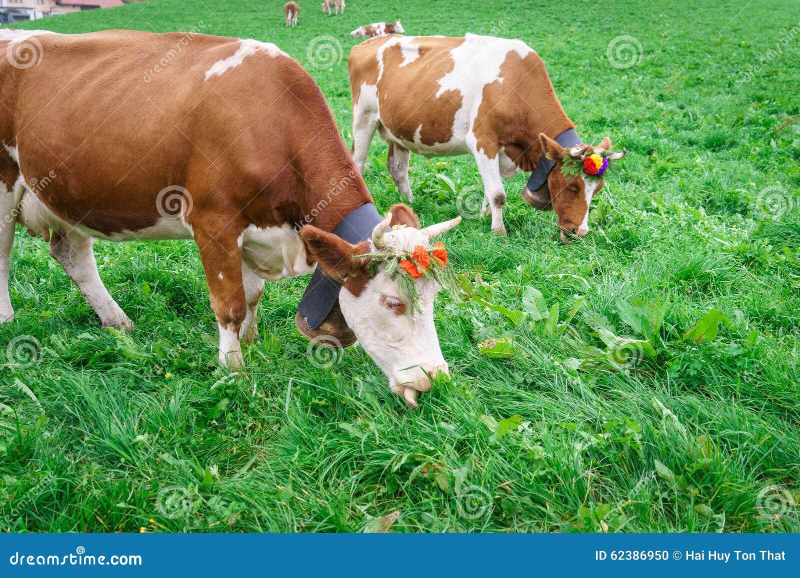 Szwajcarzy krowa