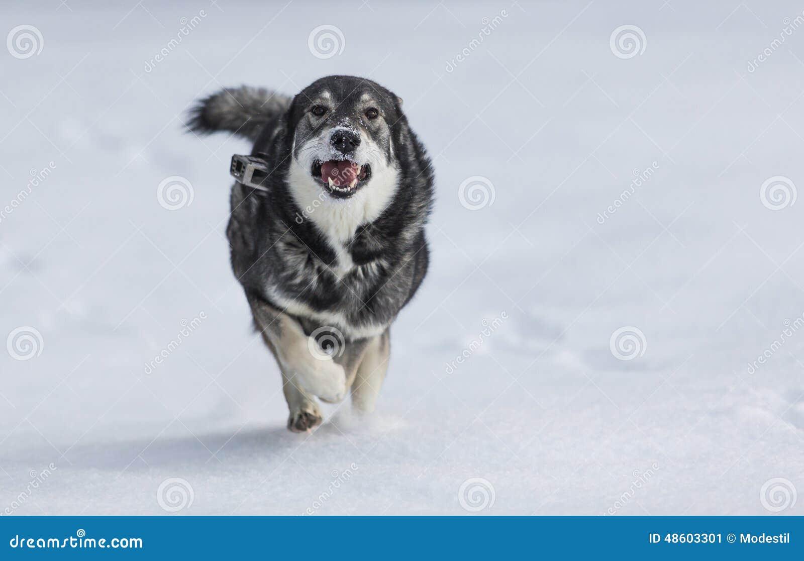 Szwedzi Elkhound