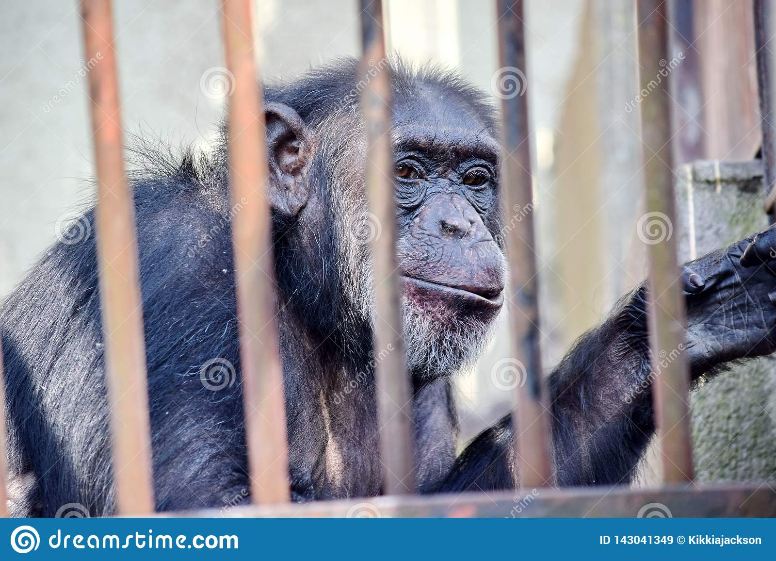 Szympans Za bar niecki troglodytów San małpą w zoo bez przestrzeni