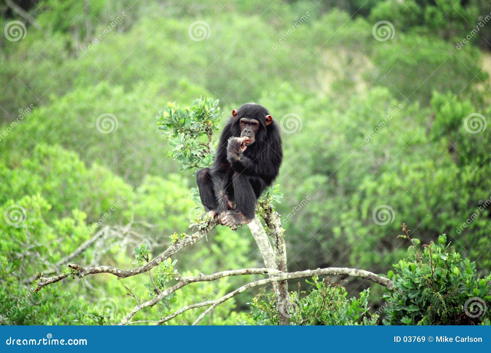 Szympansa myślenie