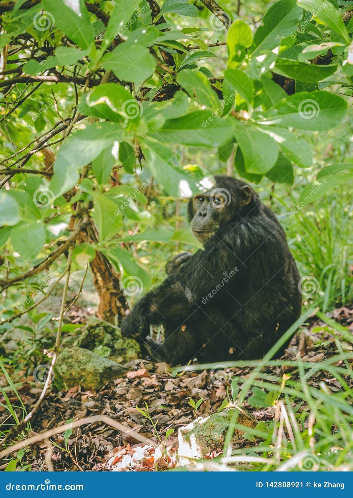 Szympansa obsiadanie na ziemi pod drzewem