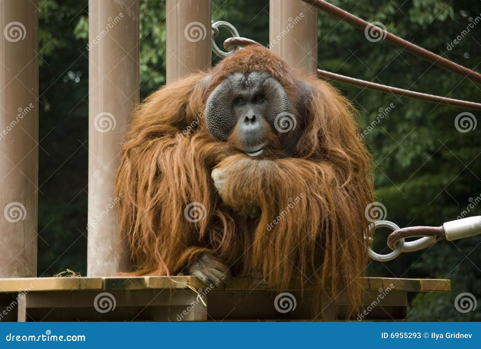 Tänka för orangutan