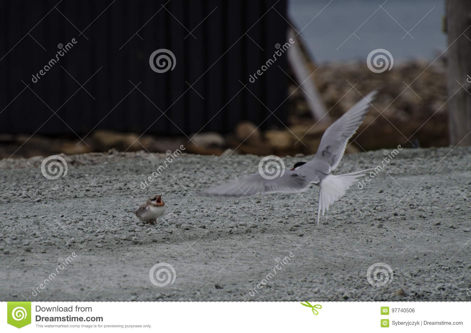 Tärna och dess fågelunge, Longyearbyen Svalbard