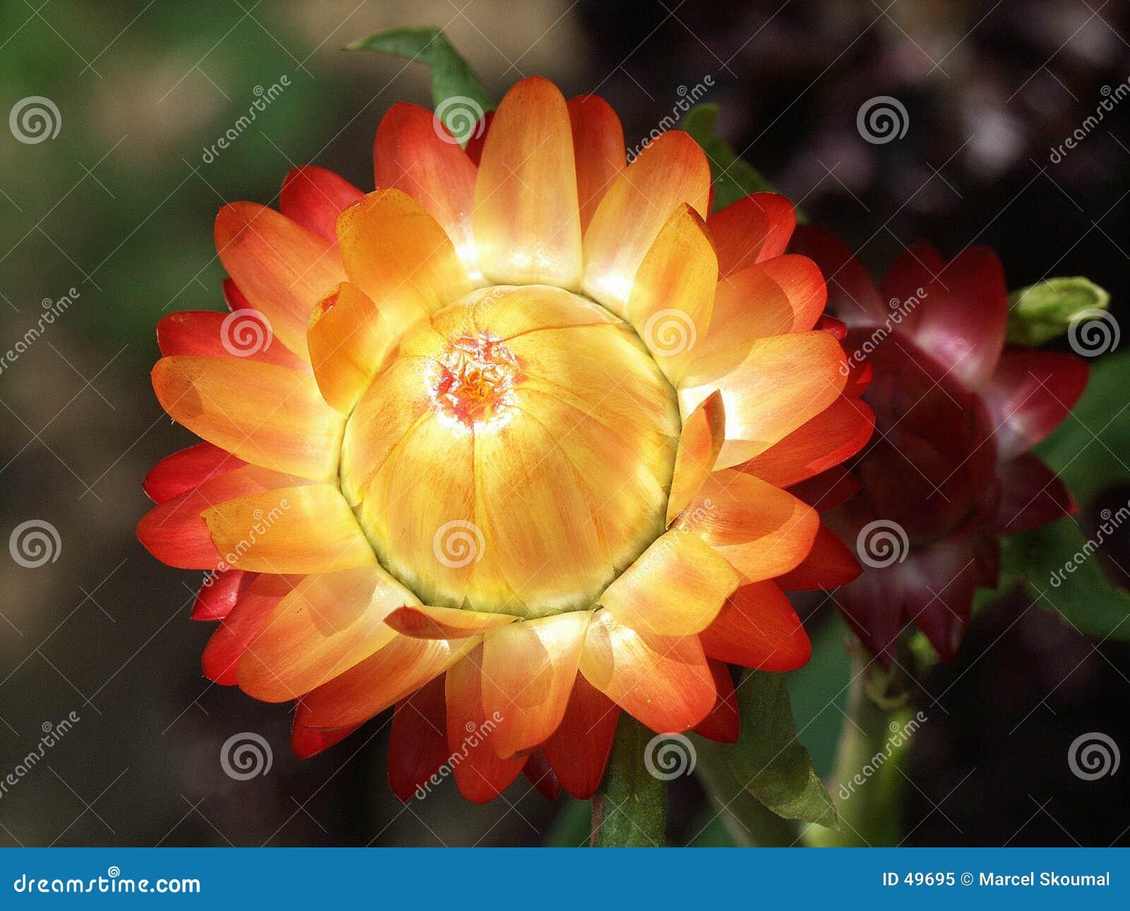 Tät blomma upp