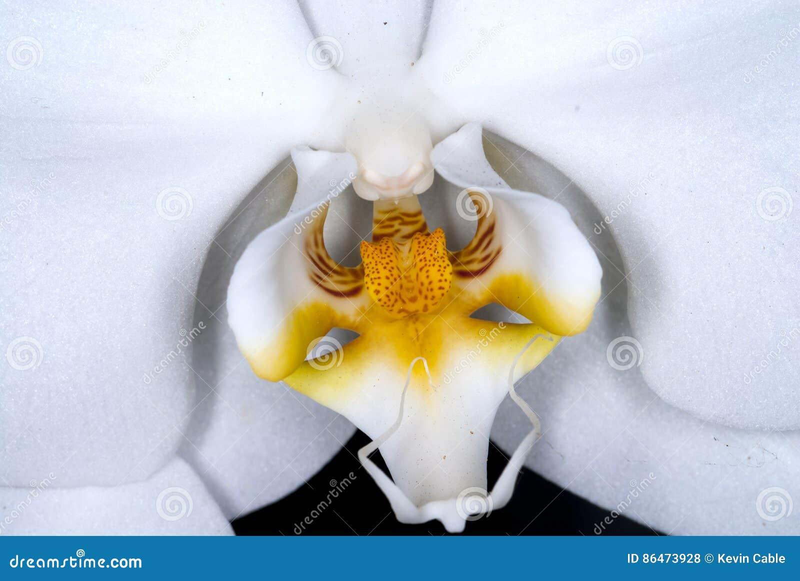 Tät blommaorchid upp white