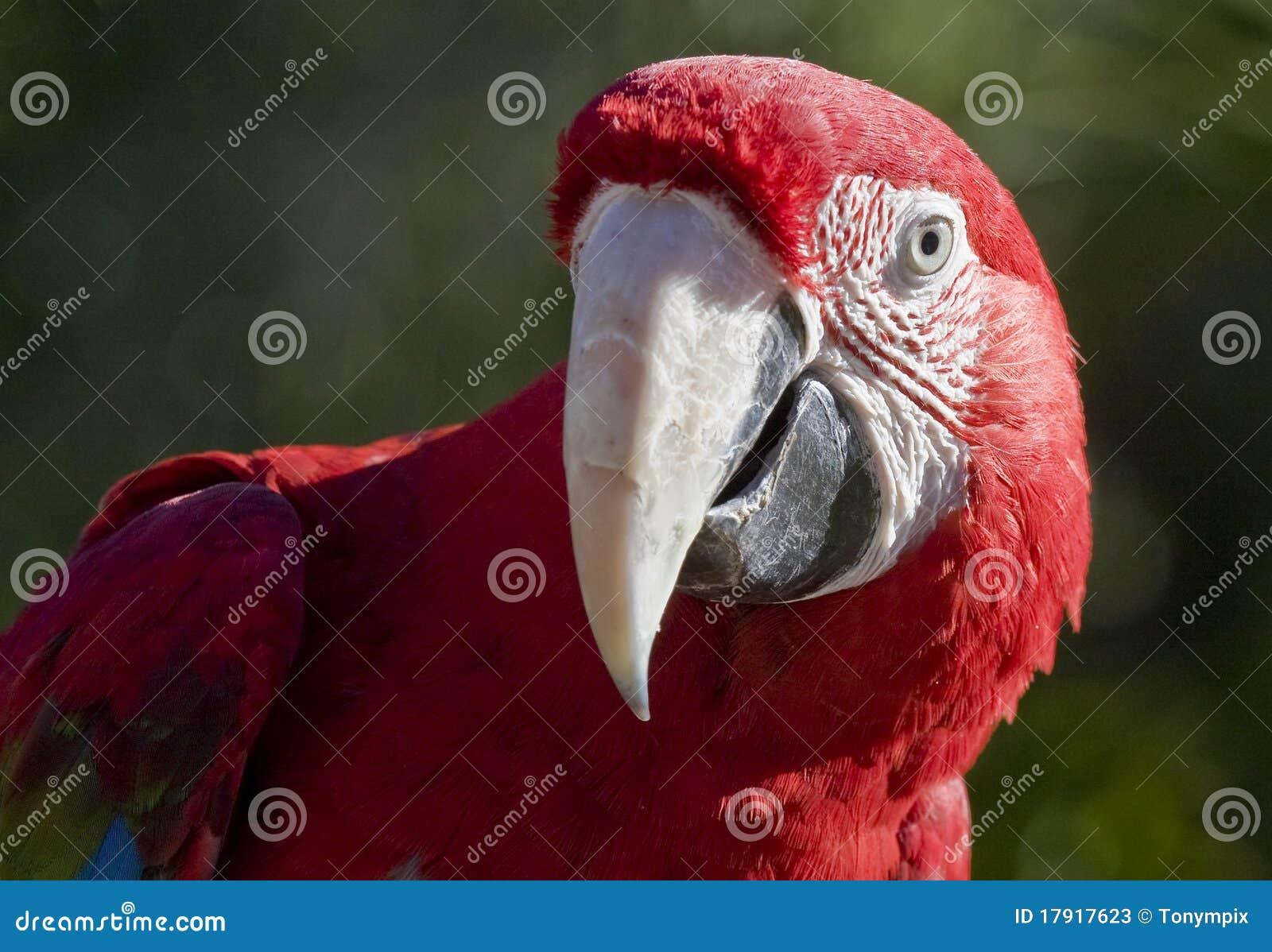 Tät crimson macaw upp