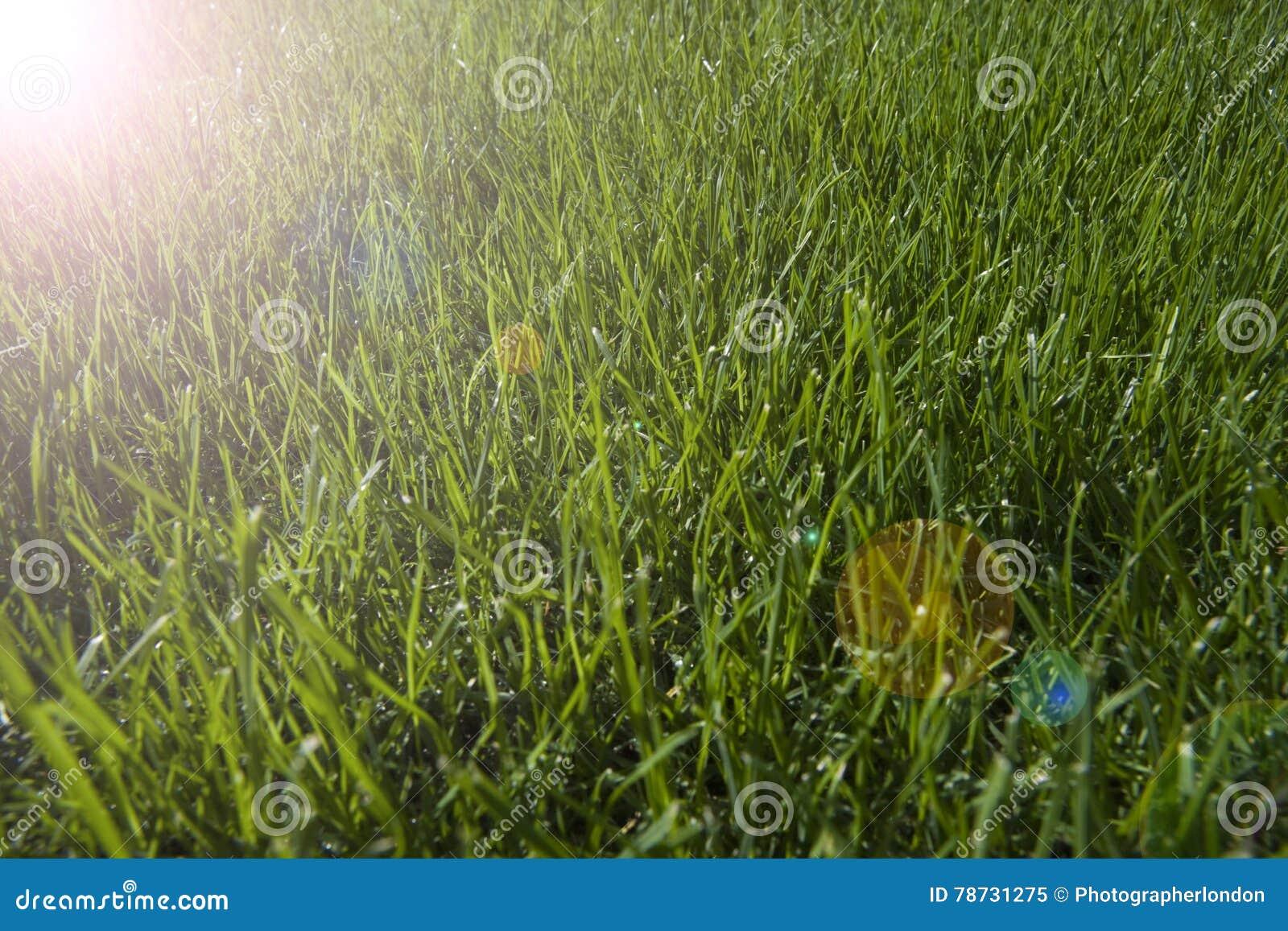 Tät dagg tappar upp nytt gräs