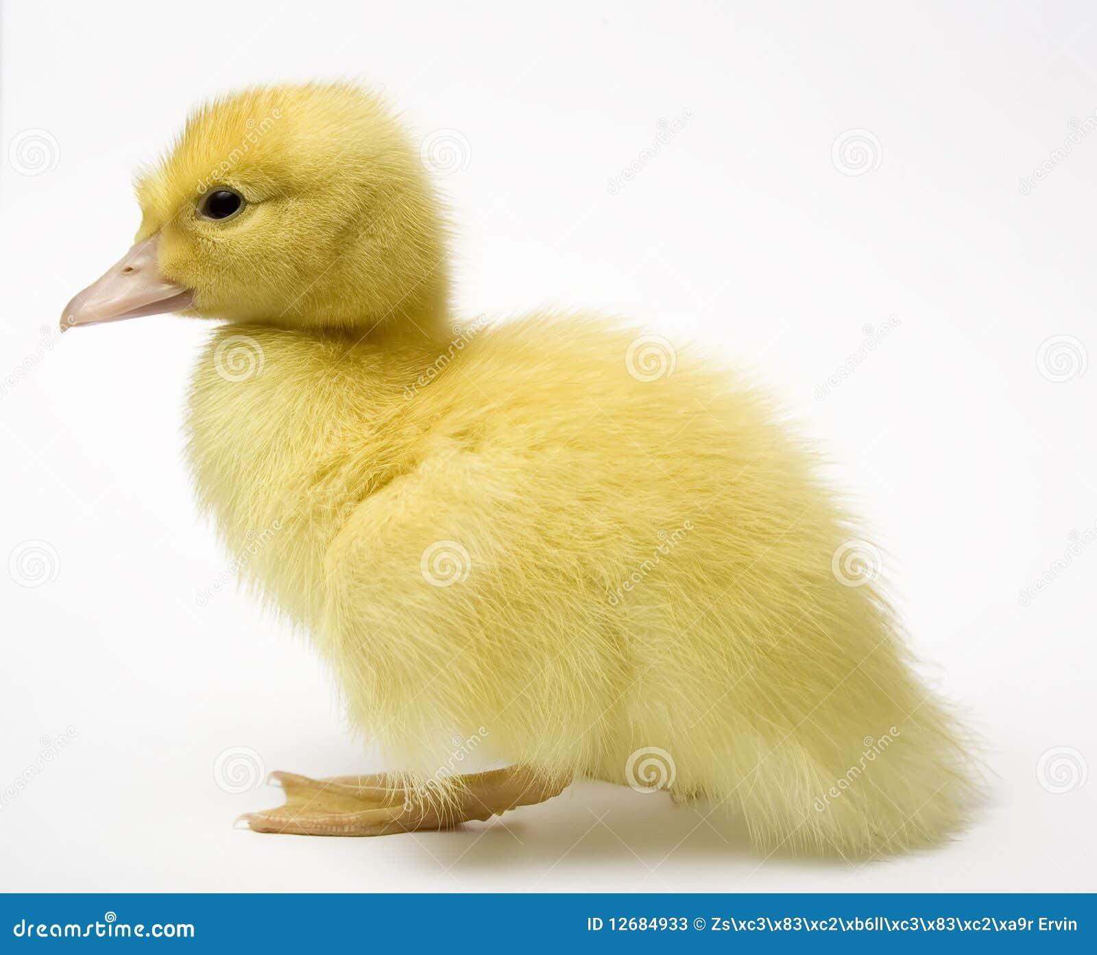 Tät duckling upp