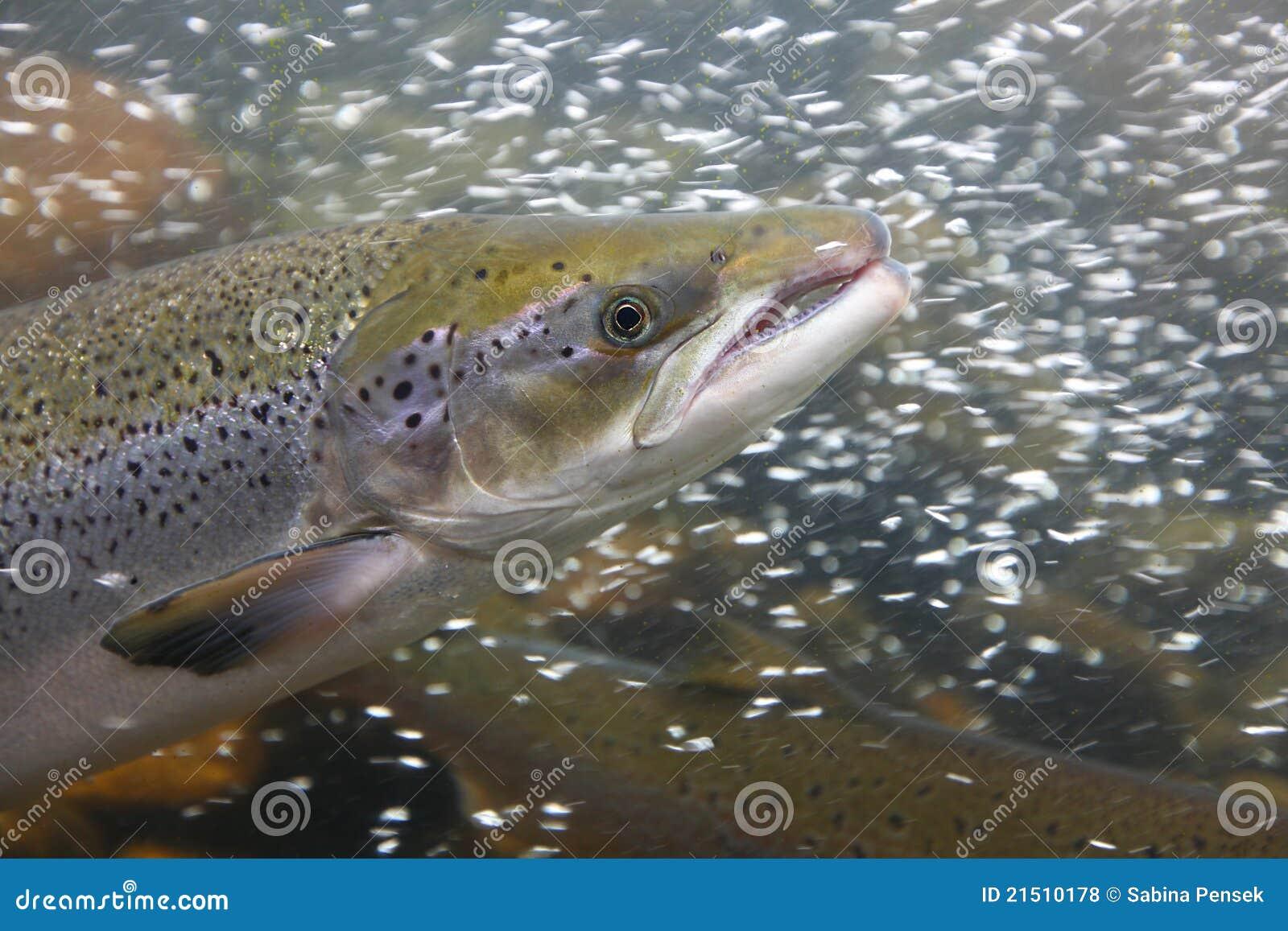 Tät fisklax upp vatten