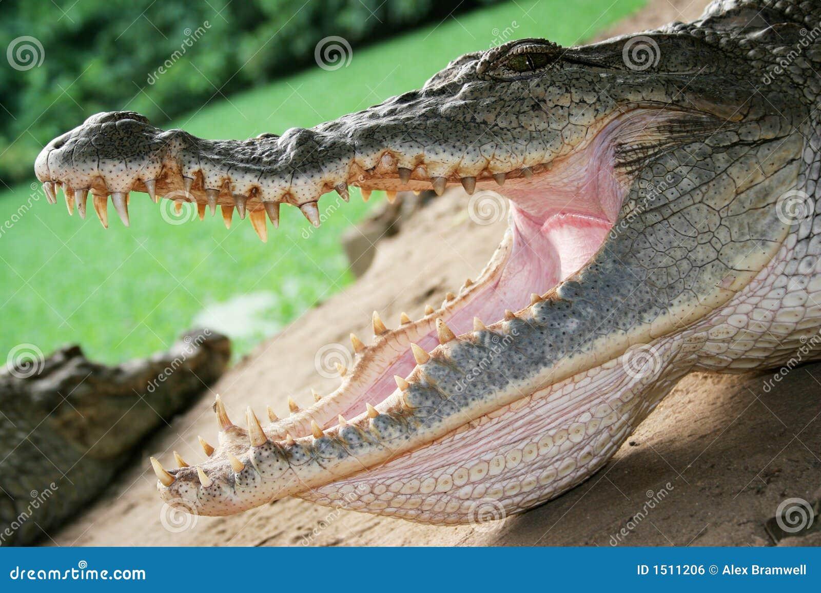 Tät krokodil upp