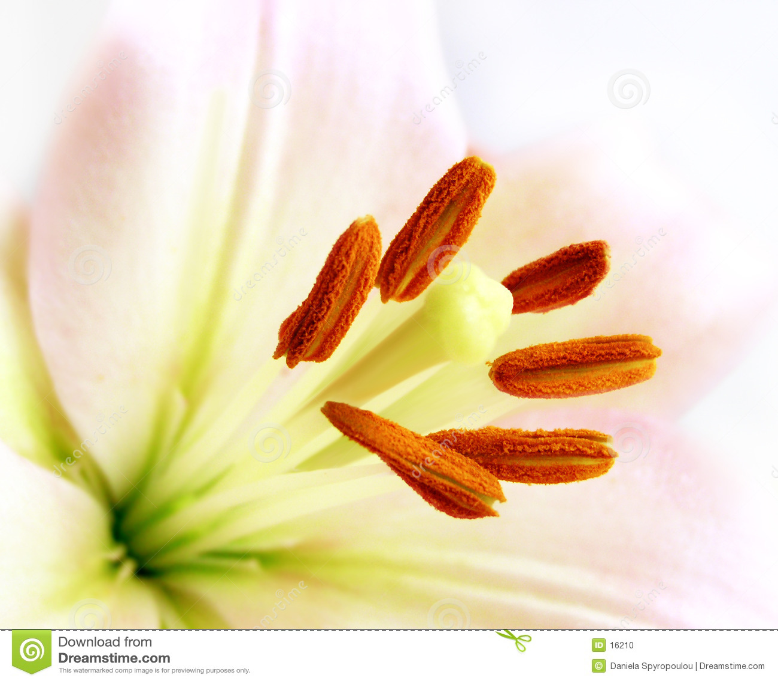 Tät lilja upp white