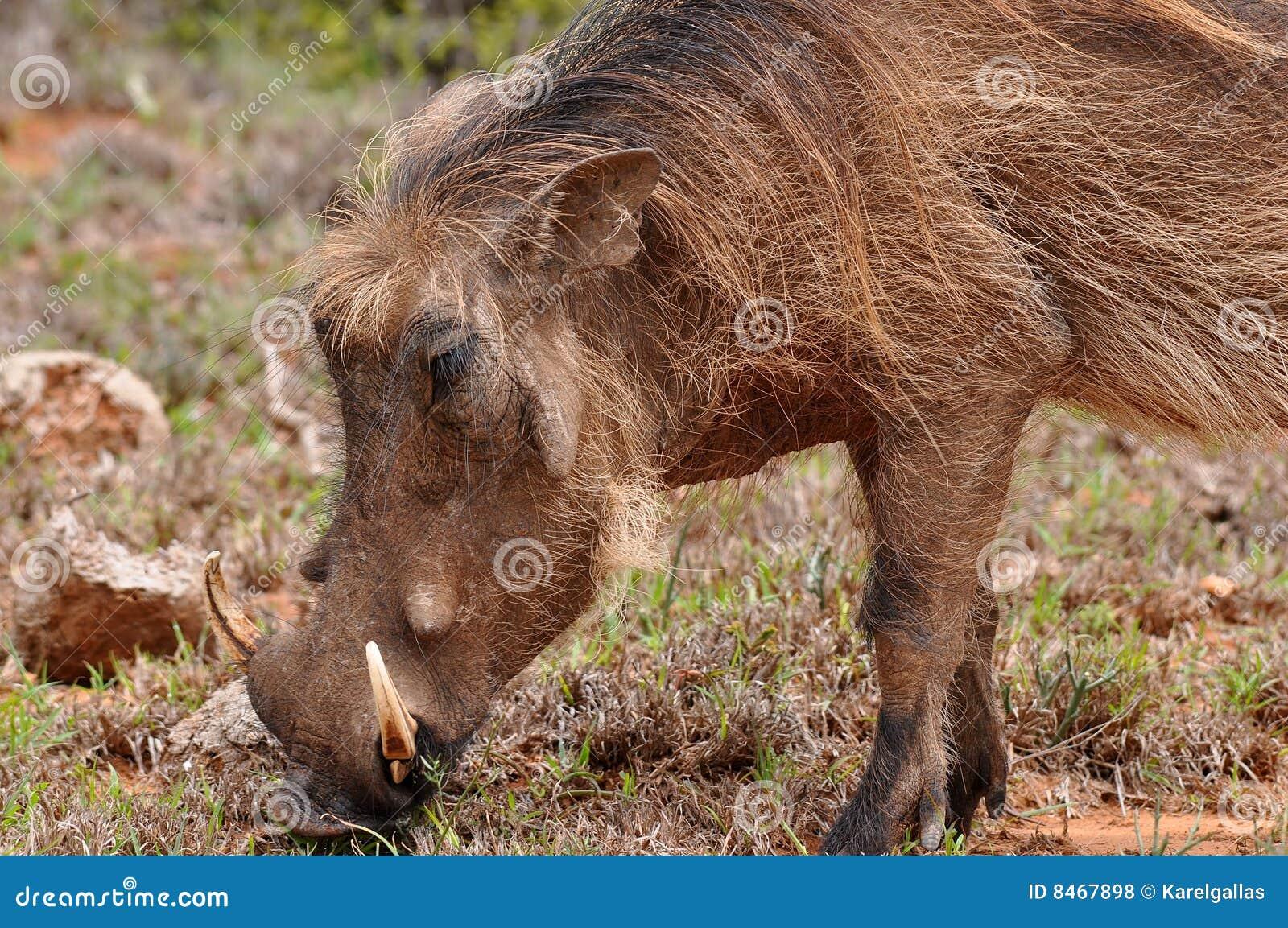 Tät manlig upp warthog