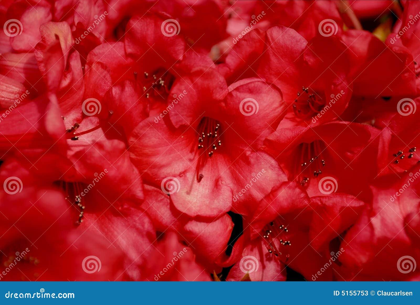 Tät röd rhododendron upp