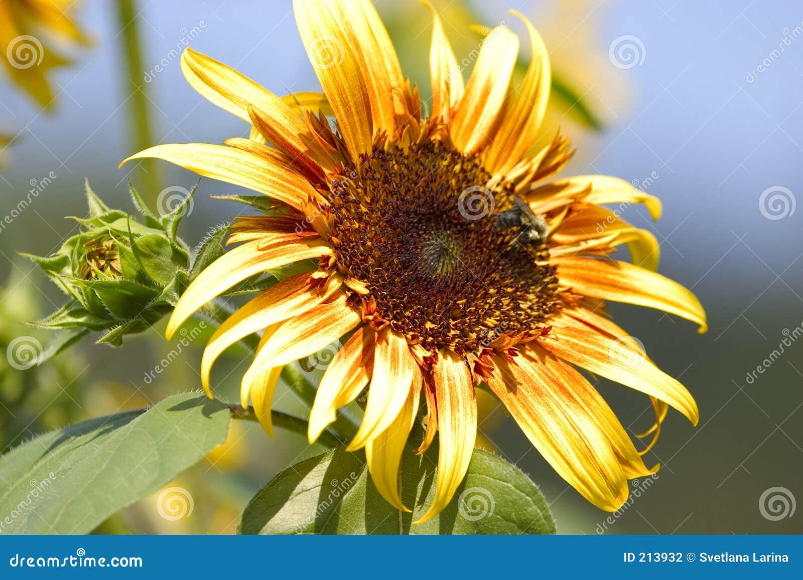 Tät sanflower för knopp upp