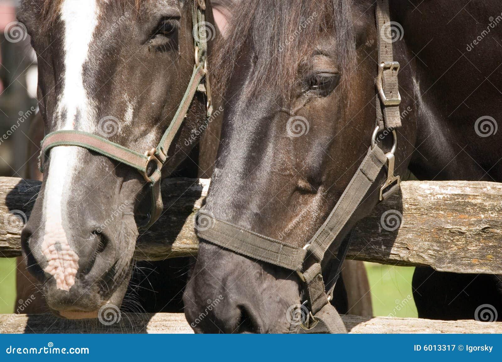 Täta hästar två upp