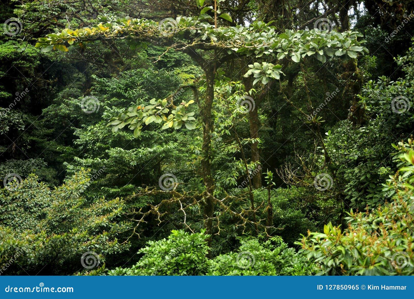 Täta lager av den frodiga gröna skogen för lövverkpåfyllningsMonteverde moln från markisen som ska däckas