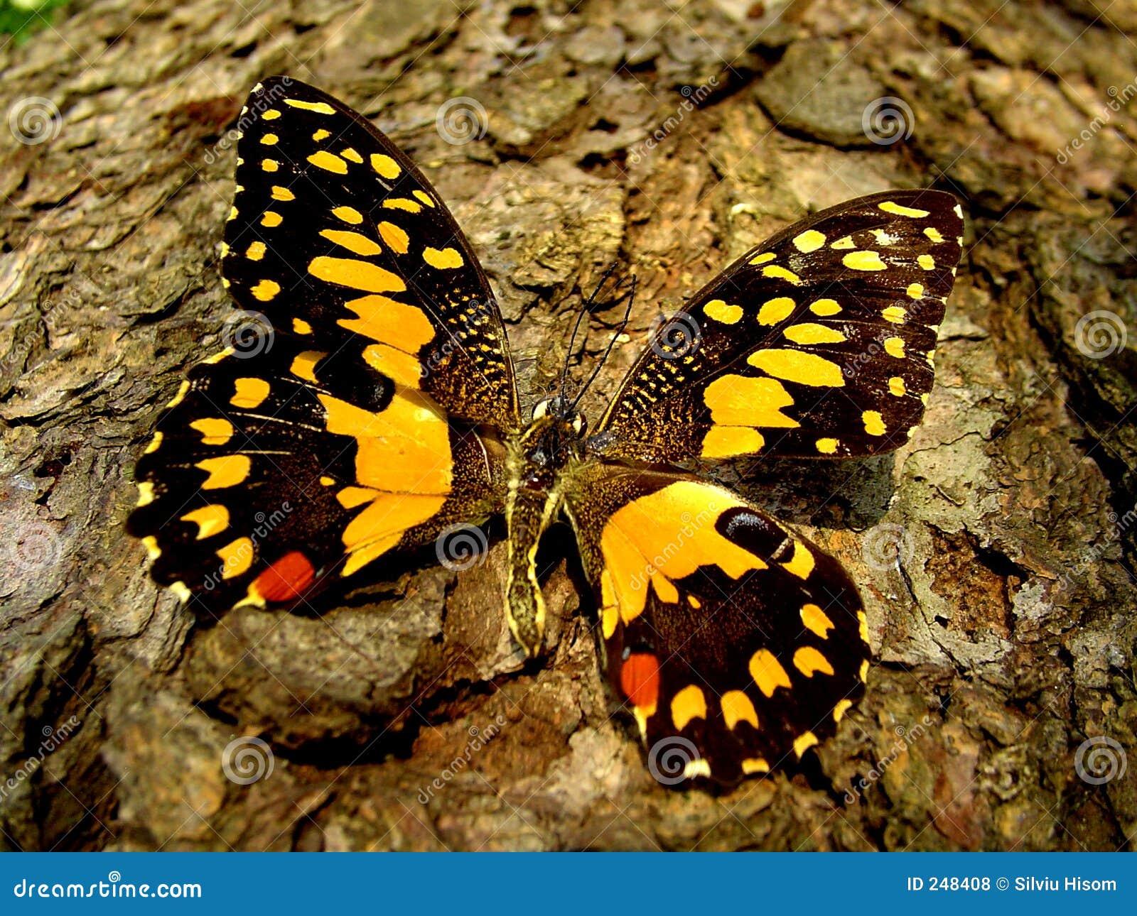 Tätt övre för fjäril