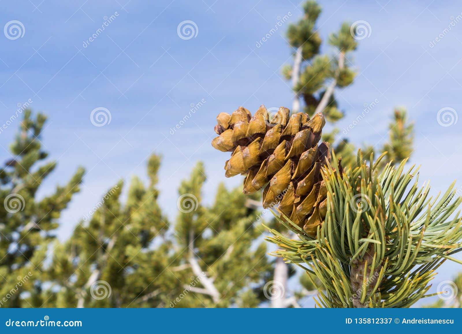 Tätt av sörja upp kotten och visare på en bakgrund för blå himmel, Kalifornien
