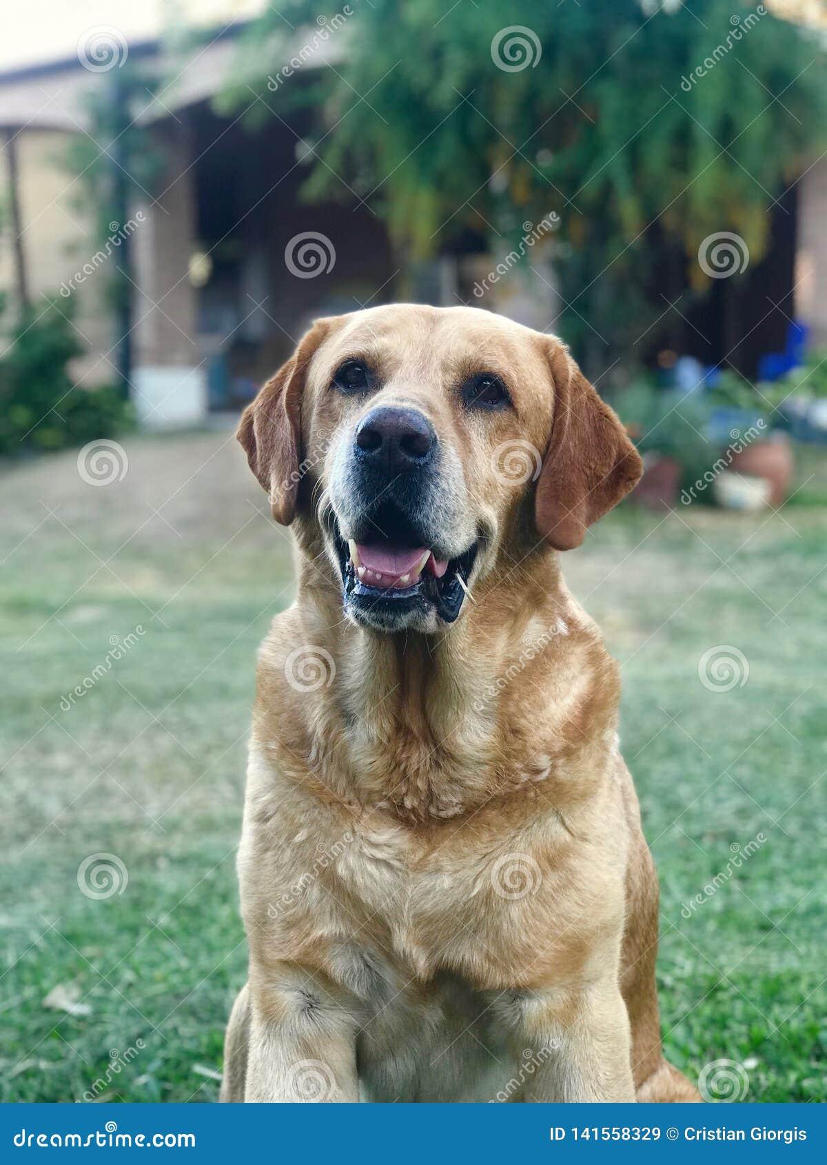 Tła psi szary labradora szczeniaka tyły aporteru widok