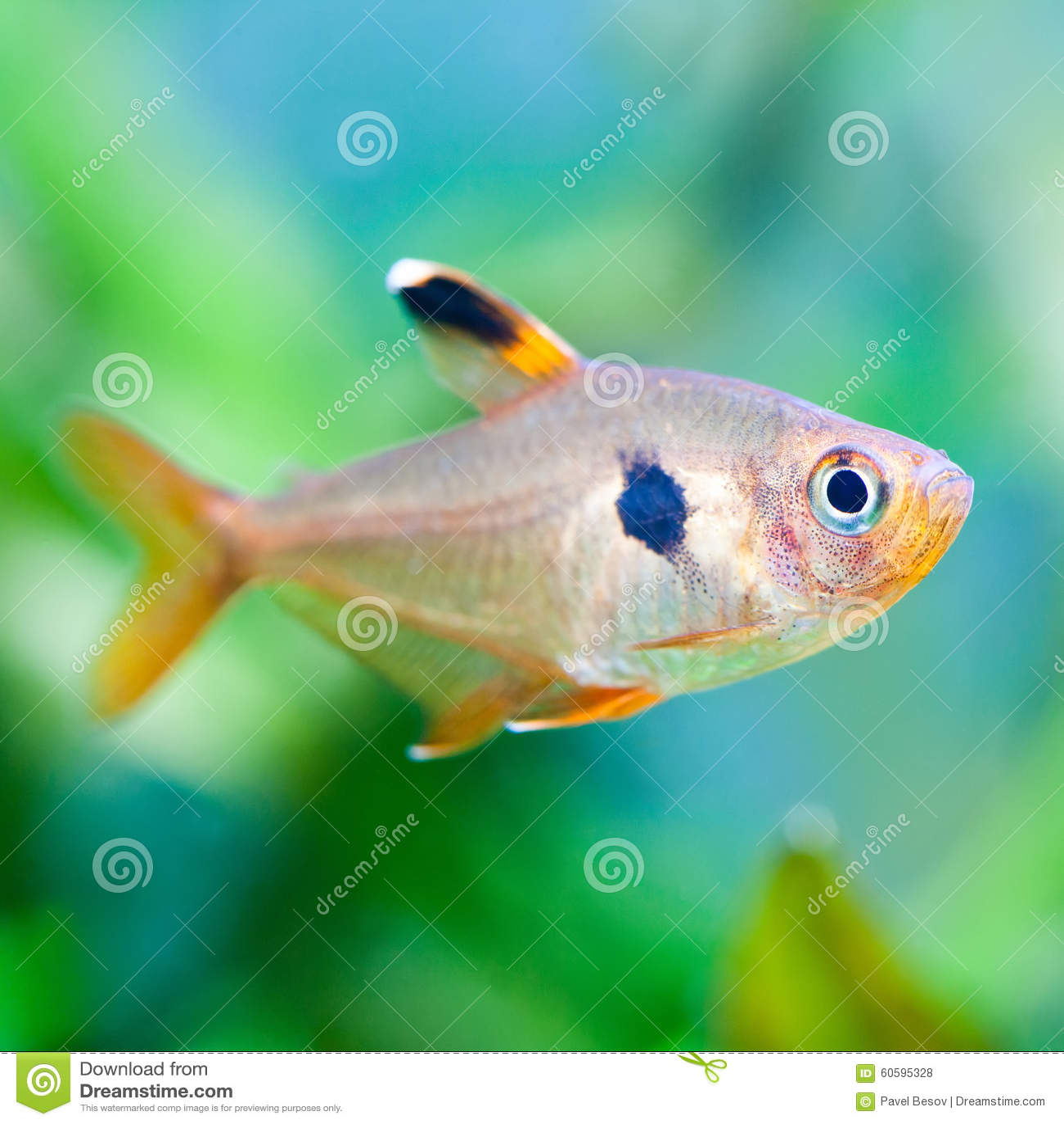 t tra poissons de macro vue beau fond vert d 39 aquarium de r servoir d 39 eau douce photo stock. Black Bedroom Furniture Sets. Home Design Ideas
