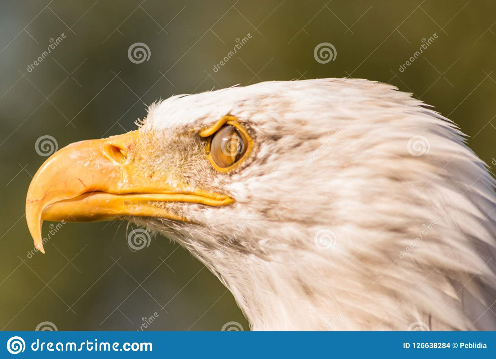 Tête blanche d aigle